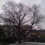Památný strom na Moravském náměstí