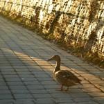 Hej,kam jdeš kachno?