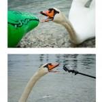 Labuť útočná