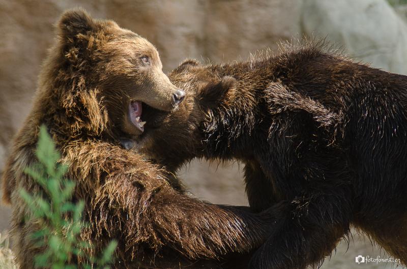 Dva medvědi se perou