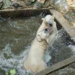 Lední medvědi v Zoo Brno