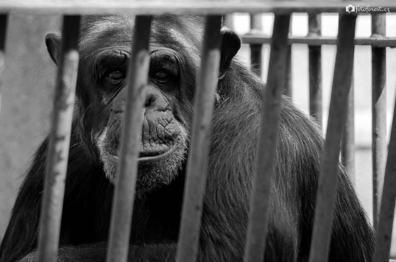 Šimpanz v ZOO Brno