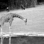 Žirafa v ZOO Brno