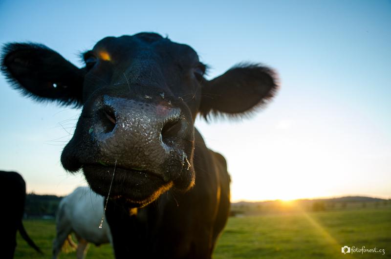 Kráva z Barochova