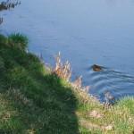 Bobr v řece