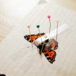 Preparace motýla