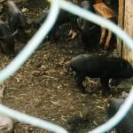 Farma zvířat u Adamova
