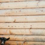 Kozy naší sousedky