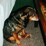 Uražený pes pod stolem