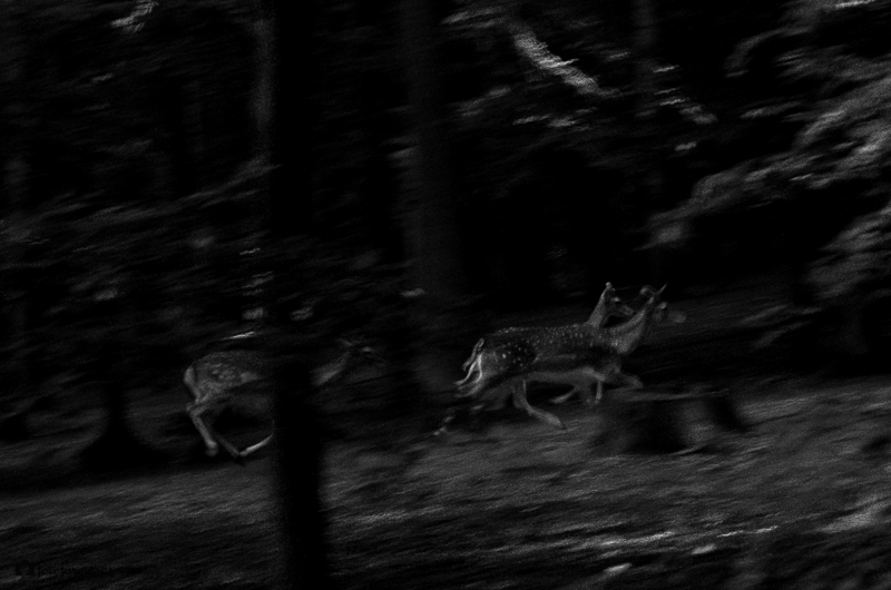 Běžící daňci v lese