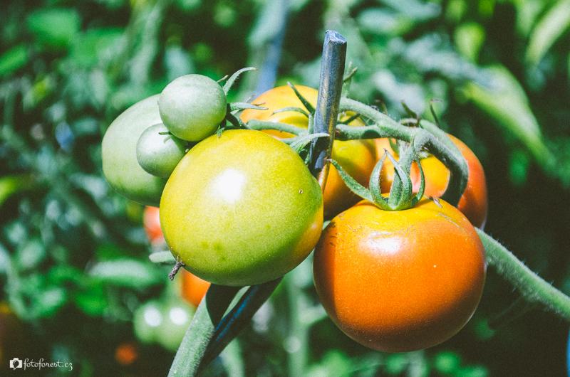 Zrající rajčata u babičky na zahrádce