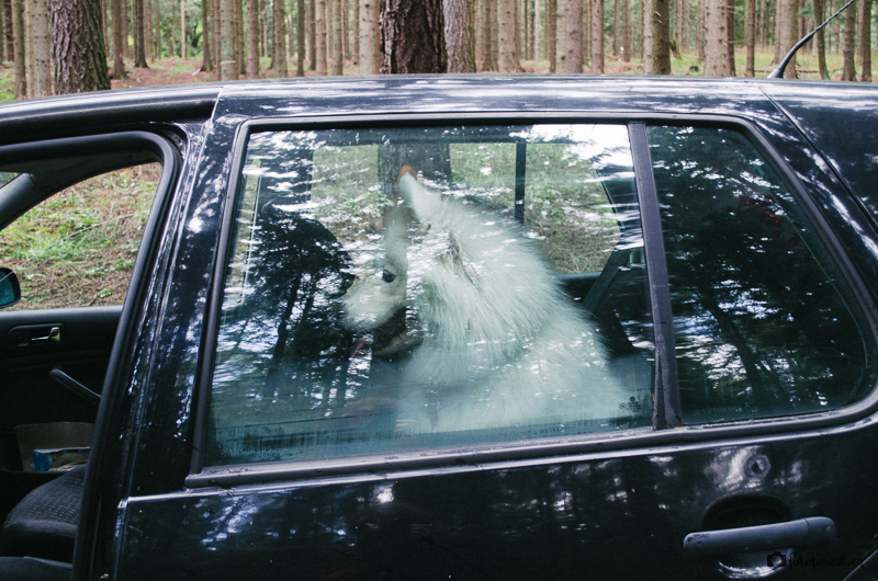 Samojed v autě