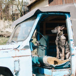 Buči - pes v autě