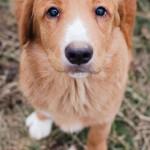 Toller - štěně novoskotského retrívra