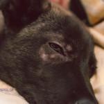 Štěně psa s demodikózou - demodex