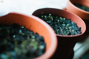 Pěstování bylinek - bazalka