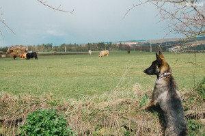 Buči hlídá krávy