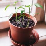 Chilli papričky doma za oknem