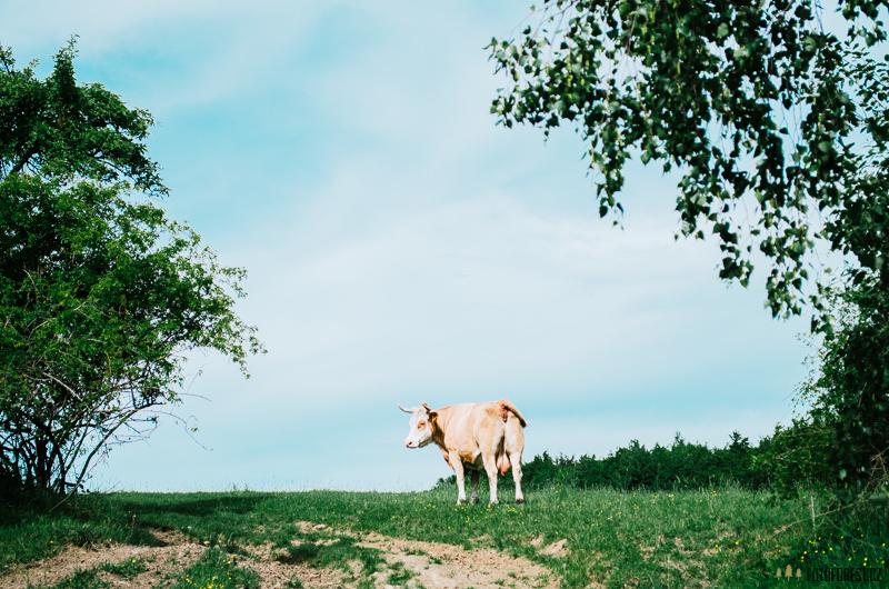 Kráva na stezce pro turisty