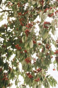 Jó třešně zrály