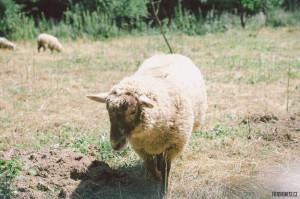 Ovečky v Bílovicích