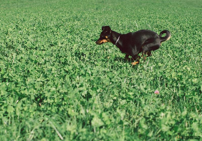 Pes chytá myši