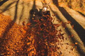 Buči - pes v listí
