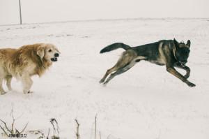 Dva psi snášenlivost