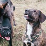Psi na Cacovickém ostrově