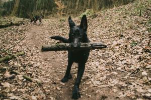 Černý německý ovčák