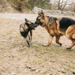 Buči a německý ovčák