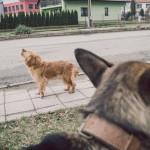 Pes z Jinošova