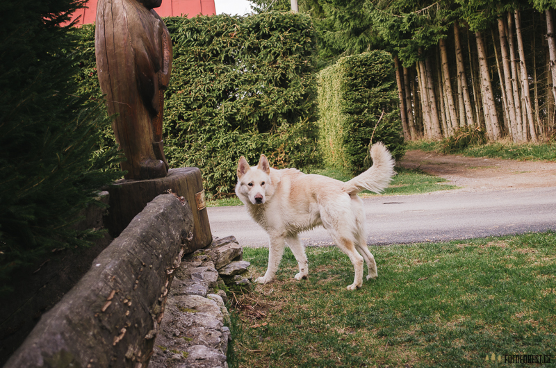Vlk v Tatrách