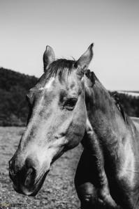 Koně Soběšice
