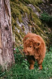 Krávy v Norsku