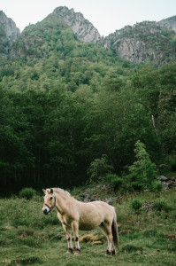 Fjordský kůň v Norsku