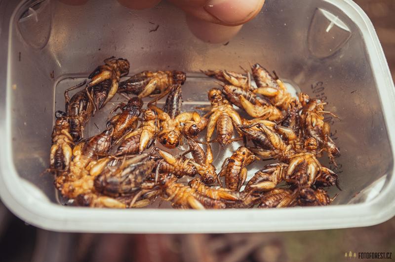 Smažení cvrčci