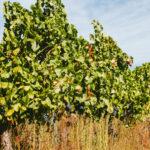 Španělské vinařství